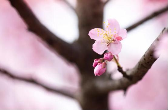 武大的樱花开了,我不能带你去看它,但我能教你怎么去画它