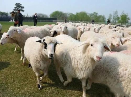 """利津县盐窝镇肉羊标准化健康养殖示范基地项目 建设""""羊项目"""" 做强""""羊产业"""""""