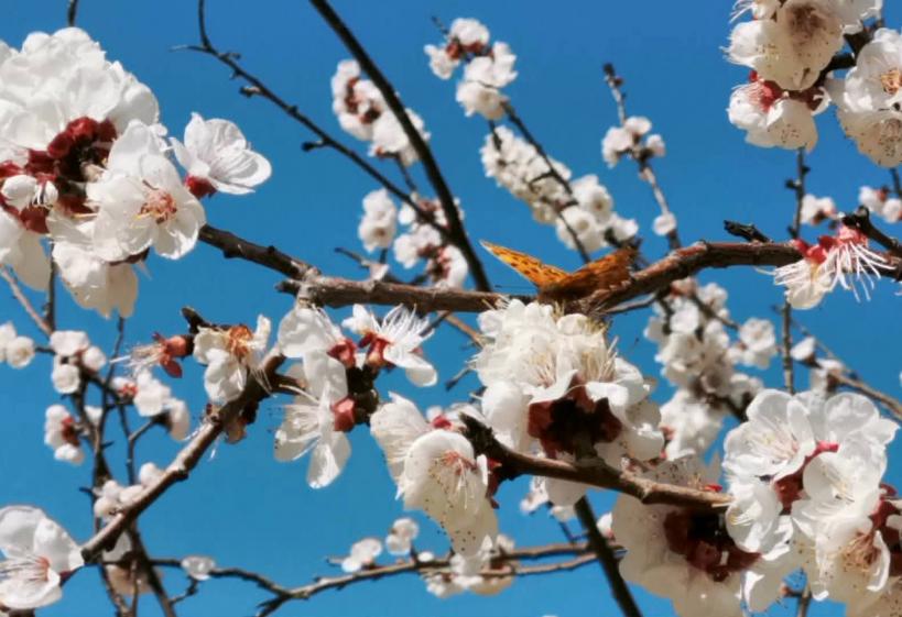 高校云赏花|春天在哪里 就在山东交通学院的校园里