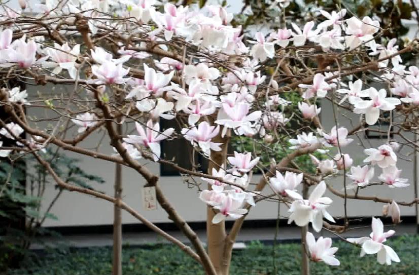 高校云赏花|花开春意浓!走,去烟台大学赏花