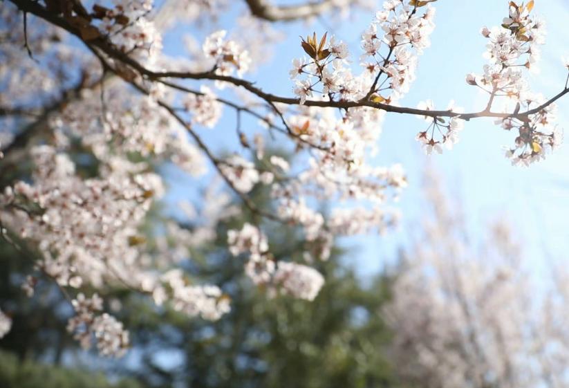 高校云赏花丨铺一地春景 展十里春风!去山东现代学院邂逅明媚春色