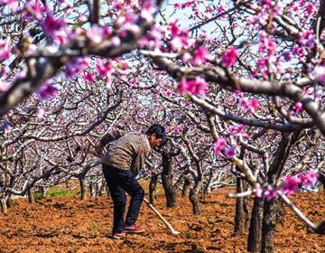 潍坊青州春耕美景:在那桃花盛开的地方
