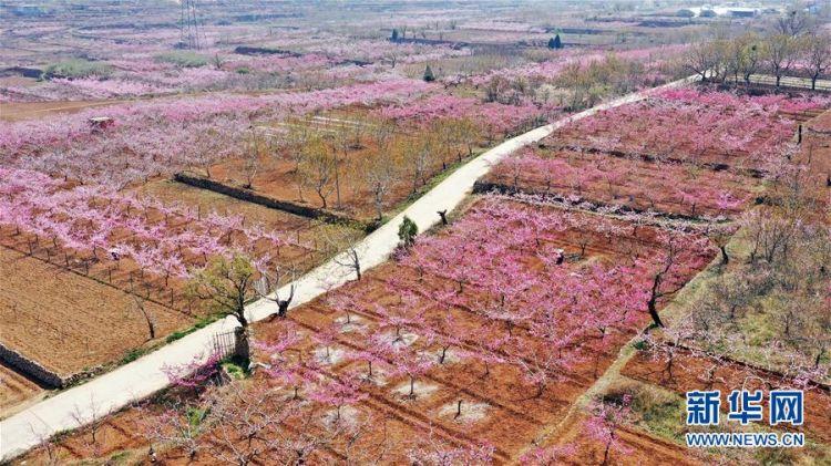 (春季美丽生态)(2)山东济南:万亩桃花笑春风
