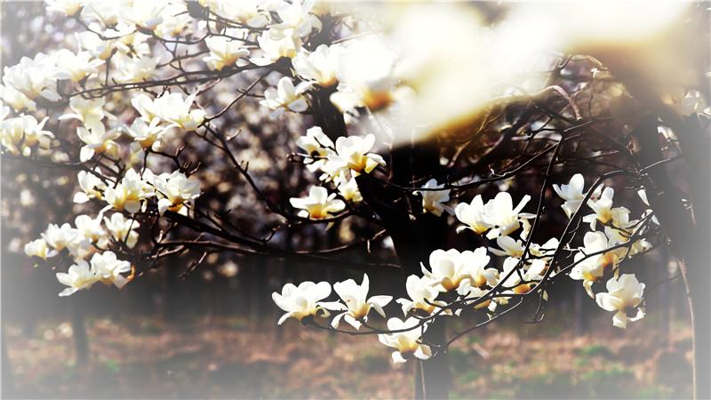 寻找最美春天   在日照赴一场花海之约
