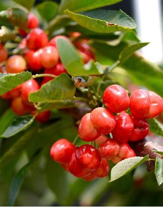 威海大棚樱桃挂满枝头 晶莹剔透惹人爱