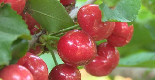 日照五莲松柏镇大棚樱桃熟了