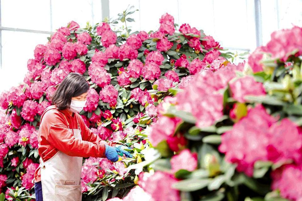 第二届日照杜鹃花节将举办