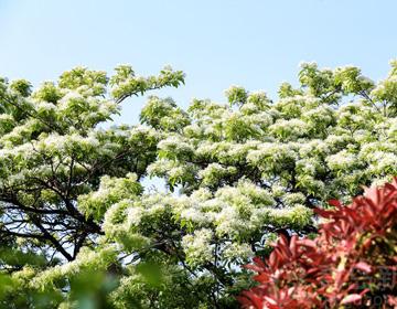 如雪压树丝丝如玉 流苏树开花风姿绰约清丽宜人