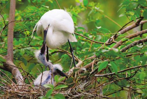 """济南动物园里白鹭哺育幼鸟尽显""""鸟巢之爱"""""""