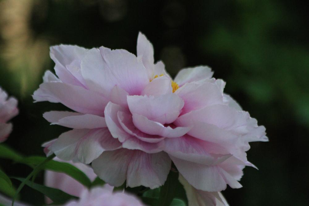2020年春天缓缓走来---。泉城公园一派春意盎然,牡丹、月季、芍药、玉兰、樱花、流苏等花卉竞相绽放。人们在花的海洋里徜徉,流连忘返。