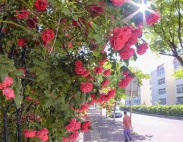 蔷薇月季满芬芳 这些地方观赏最佳 青岛最新花期预报来啦