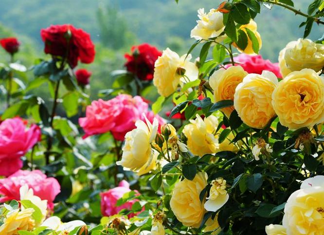 数百亩月季玫瑰蔷薇正值盛花期 这里成为花的海洋