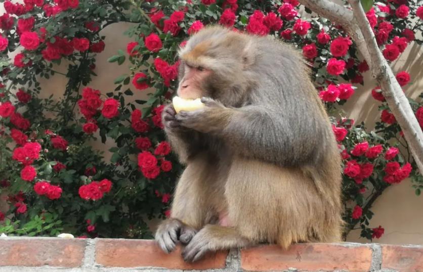 青岛居民家里来了只猴 大吃大喝到处串门儿