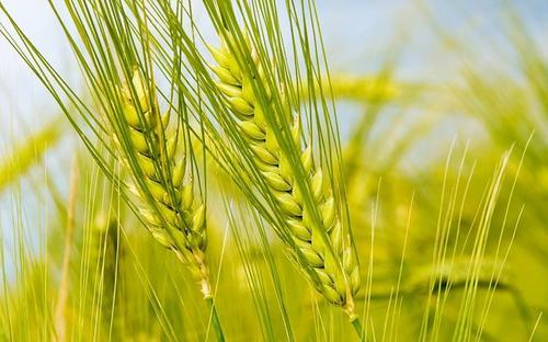 济宁市小麦条锈病防控取得全面胜利