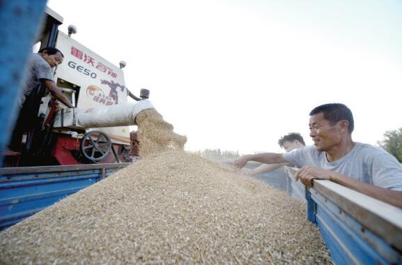 """聊城610.7万亩小麦开启""""收获季"""""""