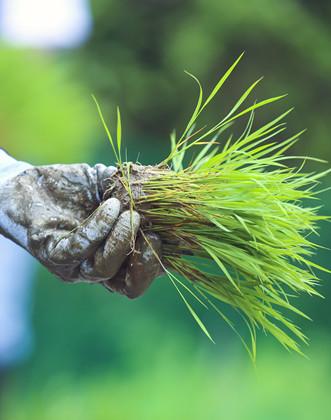 三省四地见证2020年海水稻全国联合插秧节