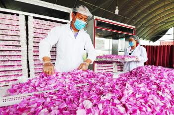 基地带农户吸纳就业 周村玫瑰园建成致富示范园