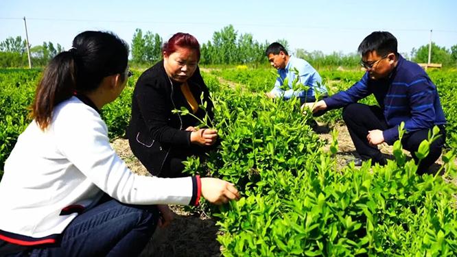 周振青:带领村民种植中药材走上致富路