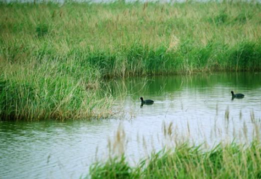芦苇曳曳 水鸟扶摇——东八路生态湿地款步走来