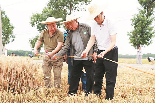 856.9公斤!淄博刷新全国冬小麦单产纪录
