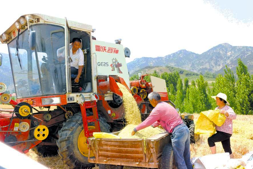 五莲县小麦陆续成熟开镰收割