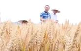 山农28号小麦高产
