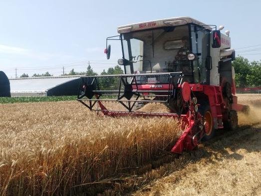 夏收稳了 青岛连续3年小麦最高单产突破800公斤