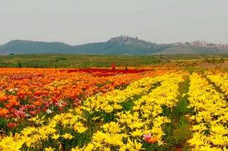 济南莱芜600亩百合花盛开 ,芳香百里引客来