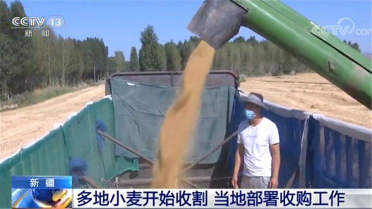 新疆:多地小麦开始收割 当地部署收购工作