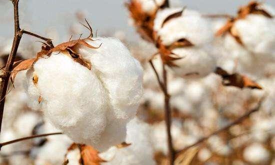 东营区借力目标价格保险 力保棉农增效增收