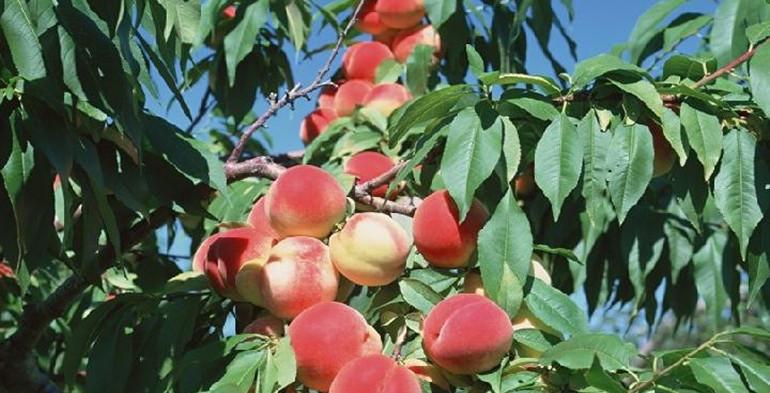 潍坊鲜桃大量上市!今年价格比去年同期便宜三分之一