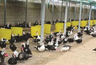 请您伸援手!威海一农场数万枚大雁蛋滞销