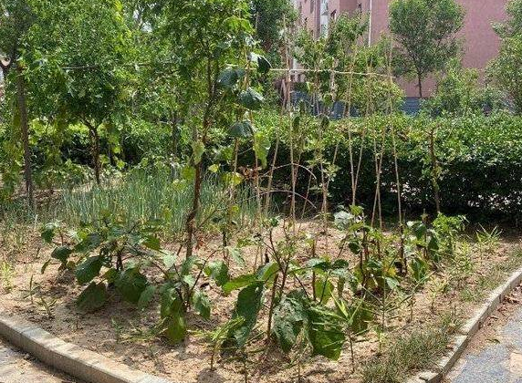 新闻啄木鸟丨垦利胜兴花园小区毁绿种菜现象严重