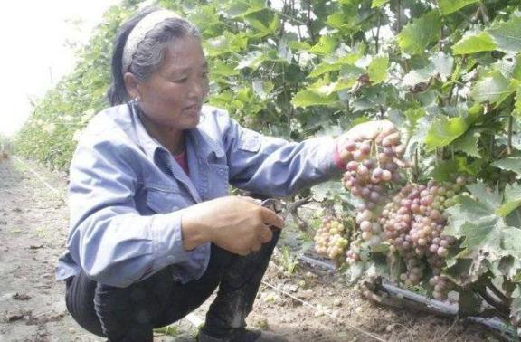 农户急盼援手 六户镇繁荣路葡萄种植户遭葡萄产量、价格双重打击