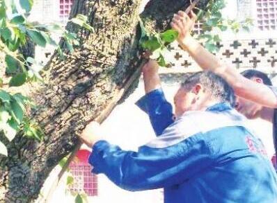 """淄博首次为古树做""""根系移植""""手术 300年古流苏""""幼树靠接""""长了新根"""