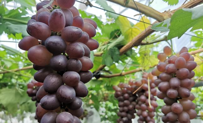 年产量5000万公斤 平度大泽山葡萄品种已达300余种