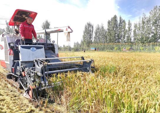 淄博高青稻田开镰 预计产量将比去年增长一成