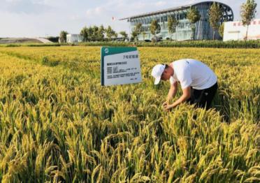青岛海水稻丰收在望 亩产约350公斤