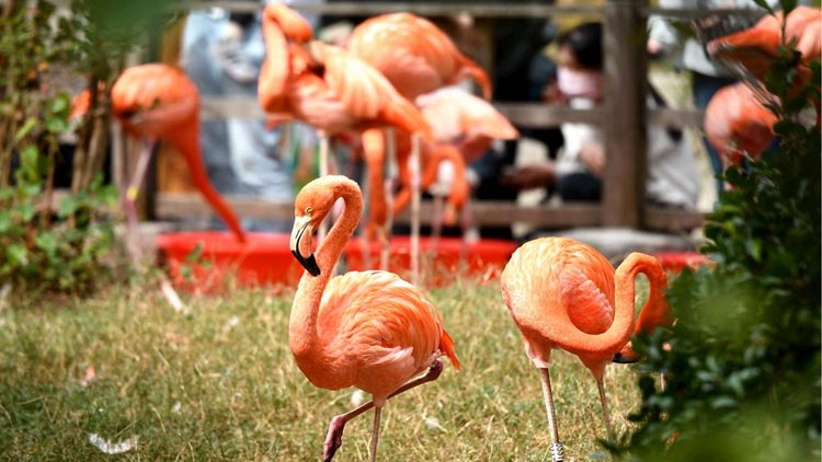 青岛森林野生动物世界 火烈鸟为秋日增添一抹靓色