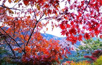 雨后崂山巨峰 红叶醉秋色风景无限好