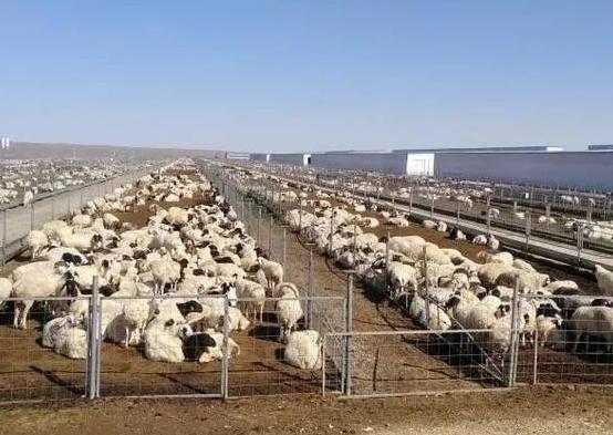 棒耶!蒙古国捐赠的首批4000只羊将交付