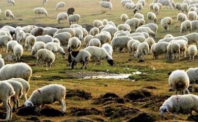 三万只羊为中蒙友谊添佳话