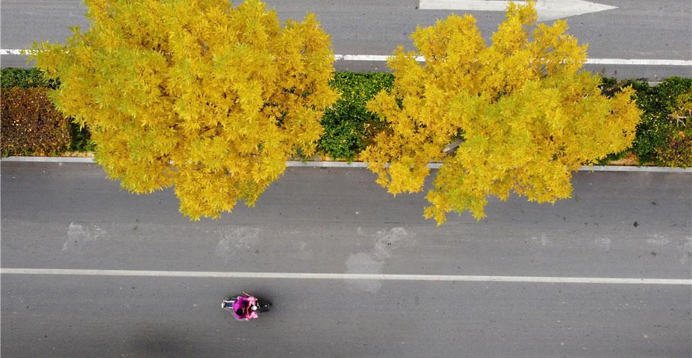 一城金黄 满树秋色