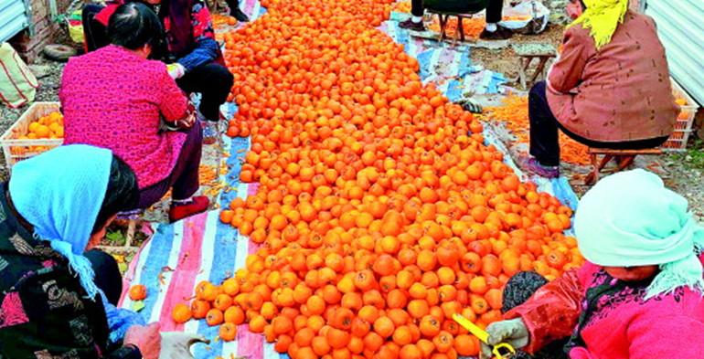 以前烂在树上没人要,现在畅销日韩!潍坊这里40天产3500吨柿饼