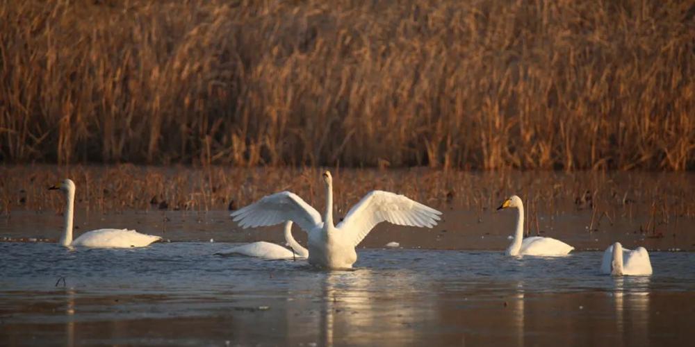 比往年提前近一个月!济南黄河北迎来首批过冬天鹅