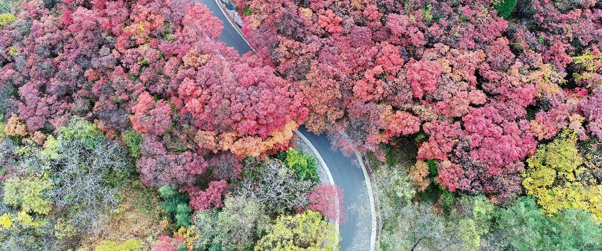 飞吧山东|瞰万山红遍 济南红叶谷迎醉美秋色
