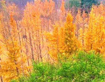 浪漫银杏树之约,不必远方!滨州黄河边完美你的想象