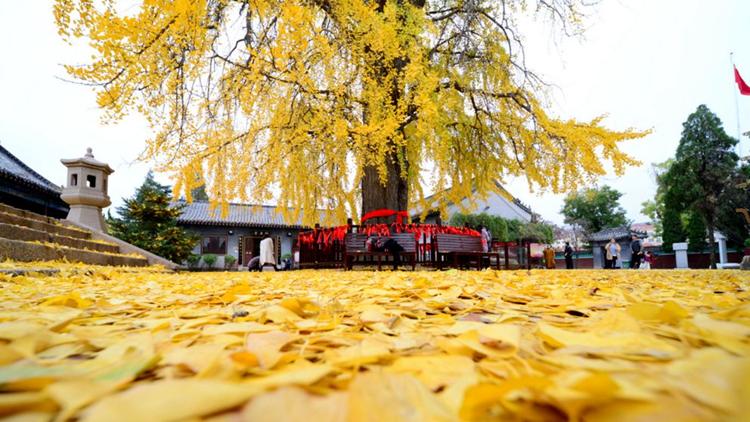 一场冬雨后的法海寺 1600多岁的老银杏树开始落叶了