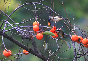 """46秒丨枣庄东湖公园满树柿子枝头挂 成过冬鸟的好""""口粮"""""""