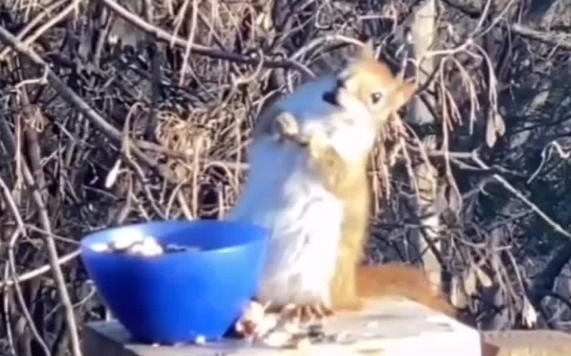 喝高了!松鼠吃发酵梨子后酩酊大醉